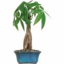 Brussel's Bonsai Money Tree Bonsai Tree for $13 + pickup at Walmart