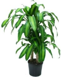 "Delray Mass Cane Plant with 10"" Pot for $10"