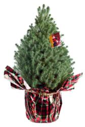 1-Gal. Italian Stone Pine Live Christmas Tree