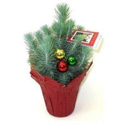 "4.5"" Italian Stone Pine Live Christmas Tree"